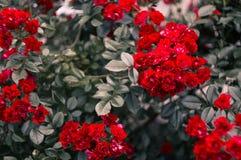 pouco arbusto da rosa do vermelho Fotografia de Stock Royalty Free