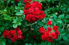 pouco arbusto da rosa do vermelho Imagem de Stock