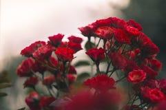 pouco arbusto da rosa do vermelho Foto de Stock Royalty Free