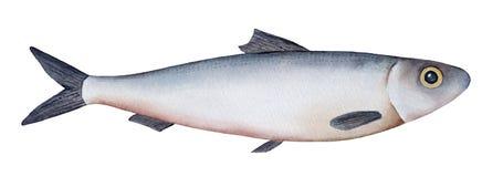Pouco arenques de Atlântico da ilustração do watercolour dos peixes de mar, sardinha, arenque pequeno ilustração royalty free