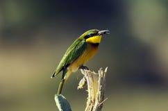 Pouco Bee-eater Fotografia de Stock Royalty Free