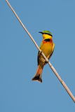 Pouco bee-eater Foto de Stock Royalty Free