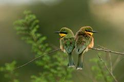 Pouco bee-eater Imagens de Stock