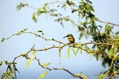 Pouco bee-eater e seu pray Imagens de Stock Royalty Free