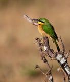 Pouco Bee-eater no sol da manhã Fotografia de Stock Royalty Free