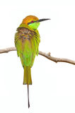 Pouco bee-eater verde Imagem de Stock