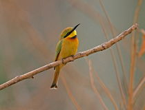 Pouco bee-eater verde Fotografia de Stock Royalty Free