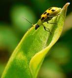Pouco besouro amarelo fotografia de stock