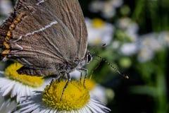 Pouco borboleta cinzenta em chamomile_DSC2130 imagens de stock royalty free