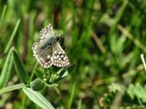 Pouco borboleta marcado na grama imagem de stock