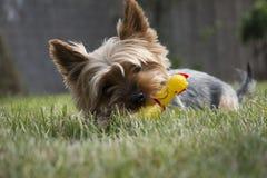 Pouco cão de yorkshire que coloca na grama e que mastiga o brinquedo sibilante da galinha Fotos de Stock Royalty Free