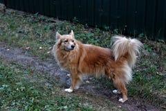 Pouco cão doméstico do ruivo bonito fotografia de stock royalty free