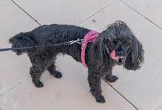 Pouco cão preto que anda com seu proprietário imagens de stock royalty free