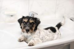 Pouco cão relaxado na bacia - Jack Russell Terrier fotografia de stock royalty free