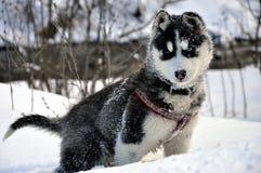 Pouco cão ronco siberian na neve foto de stock royalty free