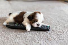Pouco cachorrinho colorido branco do shih-tzu com telecontrole Imagens de Stock Royalty Free