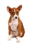 Pouco cachorrinho de Basenji no branco fotos de stock