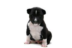 Pouco cachorrinho de Basenji no branco fotografia de stock
