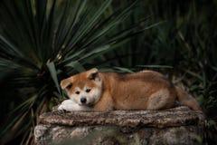 Pouco cachorrinho vermelho akita encontra-se na pedra foto de stock royalty free
