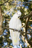 Pouco Cockatoo com crista de Sulpher Fotos de Stock