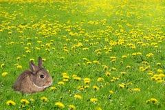 Pouco coelho de coelho em um campo de grama encheu-se com os dentes-de-leão Eas Fotos de Stock