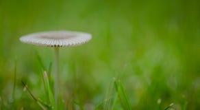 Pouco cogumelo venenoso japonês do guarda-chuva na pastagem Fotografia de Stock Royalty Free