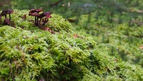 Pouco cogumelos marrons no musgo das plantas verdes foto de stock royalty free