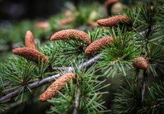 Pouco cones no pinho sempre-verde fotografia de stock