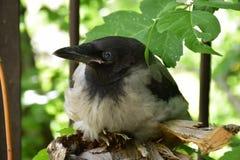 Pouco corvo na ?rvore fotografia de stock