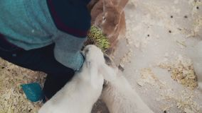 Pouco criança alimenta coelhos com grama, close up video estoque