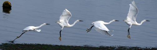 Pouco descolagem do Egret imagem de stock royalty free