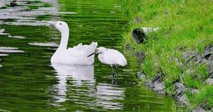 Pouco Egret e cisne indiana & x28; hamsa& x29; fotografia de stock
