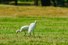 Pouco Egret recolhido no gramado foto de stock royalty free