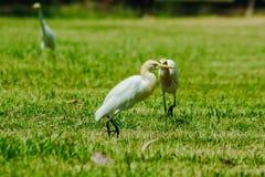Pouco Egret recolhido no gramado fotos de stock
