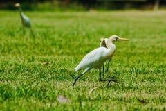 Pouco Egret recolhido no gramado imagens de stock royalty free