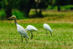 Pouco Egret recolhido no gramado imagem de stock royalty free