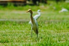 Pouco Egret recolhido no gramado fotografia de stock royalty free