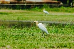 Pouco Egret recolhido no gramado imagens de stock