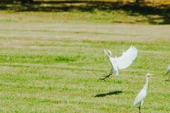 Pouco Egret recolhido no gramado imagem de stock