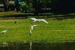 Pouco Egret recolhido no gramado fotos de stock royalty free