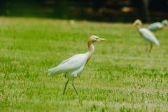 Pouco Egret recolhido no gramado fotografia de stock