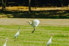 Pouco Egret recolhido no gramado foto de stock