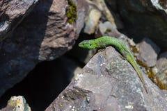 Pouco escaladas do lagarto sobre as rochas à caverna fotos de stock