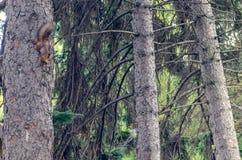 Pouco esquilo com cauda macia em uma árvore em uma floresta do pinho imagens de stock