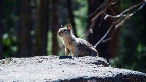 Pouco esquilo que procura o Sciurus do alimento vulgar imagem de stock