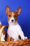 Pouco filhote de cachorro de Basenji imagens de stock