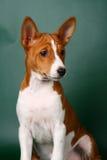 Pouco filhote de cachorro de Basenji foto de stock royalty free