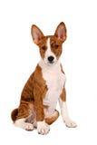 Pouco filhote de cachorro de Basenji, cor brindle fotos de stock