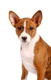 Pouco filhote de cachorro de Basenji, cor brindle imagens de stock