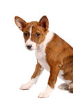 Pouco filhote de cachorro de Basenji, cor brindle fotografia de stock royalty free